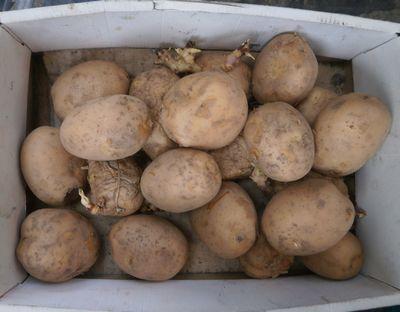 ラッキョウとジャガイモ植え付け_f0018078_17184007.jpg