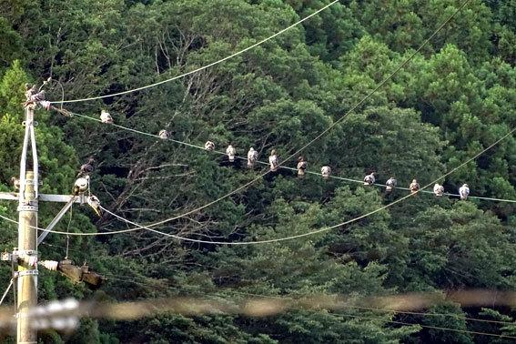 電線に鳩ぽっぽ_b0145296_07544862.jpg