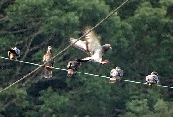電線に鳩ぽっぽ_b0145296_07545125.jpg