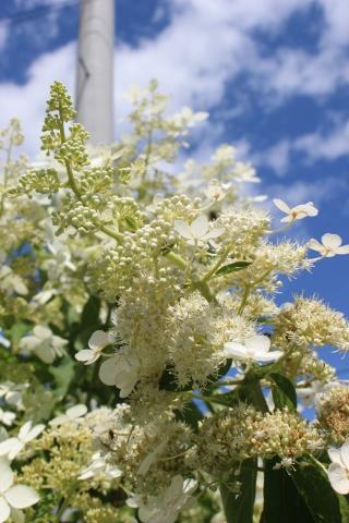 ノリウツギ&この時期に咲く宿根草_e0341606_17022902.jpg