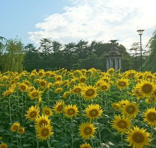 鶴舞公園へひまわりを見に行きました!_f0373339_11334049.jpg
