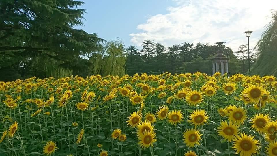 鶴舞公園へひまわりを見に行きました!_f0373339_11334080.jpg