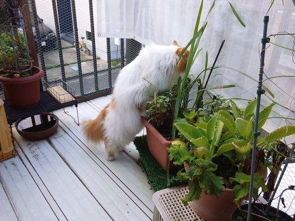 今夏もレモングラスは猫に噛られ、。_d0116059_17181578.jpg