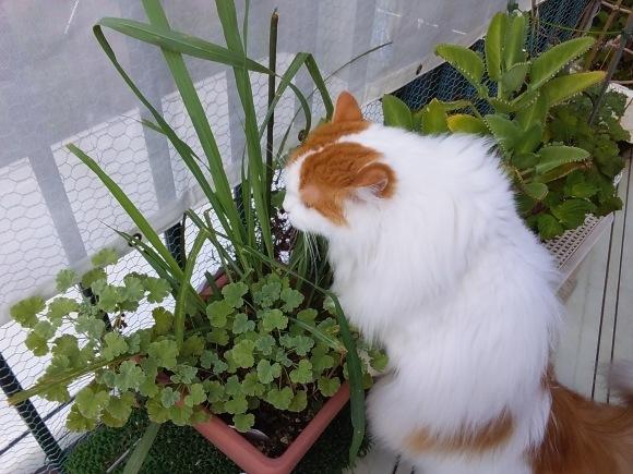 今夏もレモングラスは猫に噛られ、。_d0116059_17211000.jpg