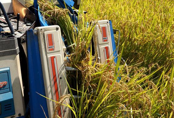 稲刈りが始まっています_b0145296_19185319.jpg