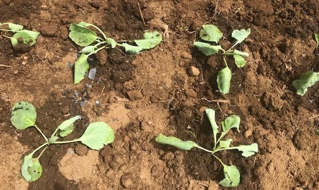 キャベツとブロッコリーの苗を移植8・27_c0014967_17294328.jpg