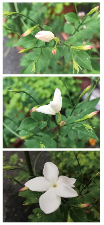 ジャスミンが咲いた!〜りんごのおと53_e0103327_16354258.jpg