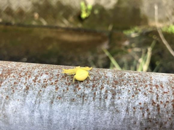 花蜘蛛 : カントリーマム