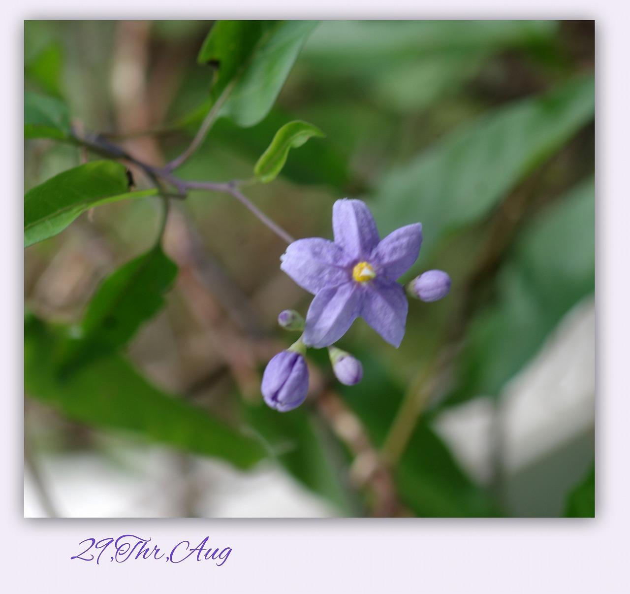 誕生日記念に咲くヤマホロシ_d0147812_16132180.jpg