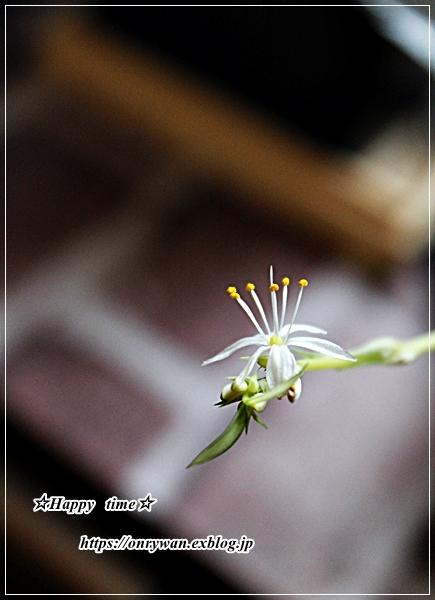 豚丼弁当とオリズルランの花♪_f0348032_17135162.jpg