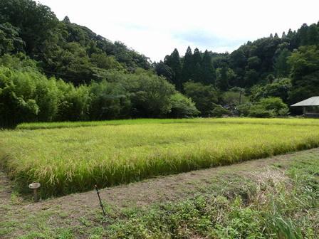 稲刈り準備 / 赤とんぼ_a0123836_17080453.jpg
