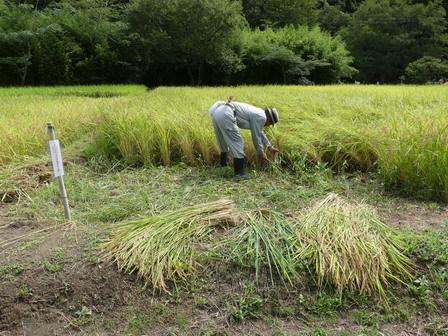 稲刈り準備 / 赤とんぼ_a0123836_17082926.jpg