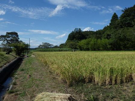 稲刈り準備 / 赤とんぼ_a0123836_17083287.jpg