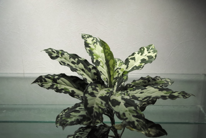 Aglaonema pictum \'Messiah\'_a0194582_15355863.jpg