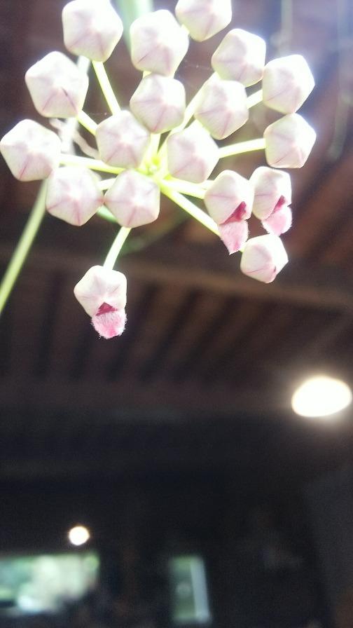チャイナビーンズ開花_e0303187_18592695.jpg