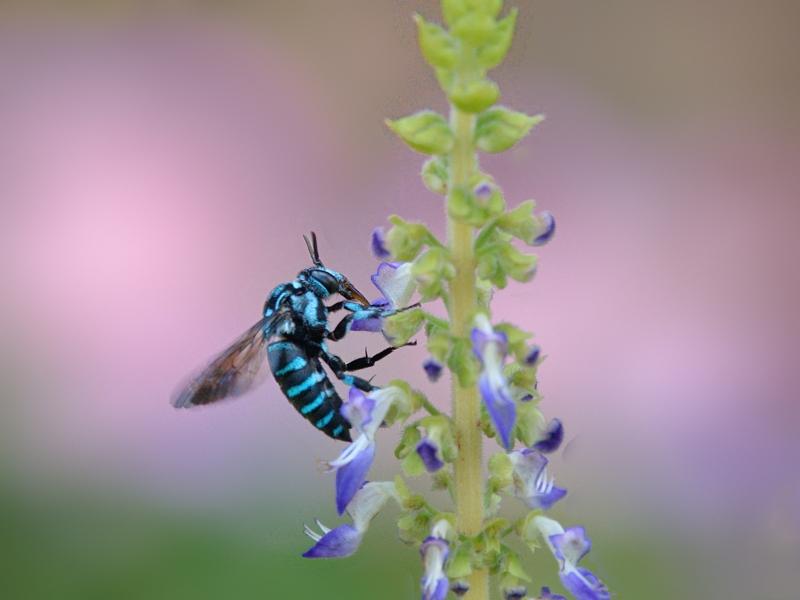 地元公園の青い蜂たち(ルリモンハナバチ)_a0204089_22274548.jpg