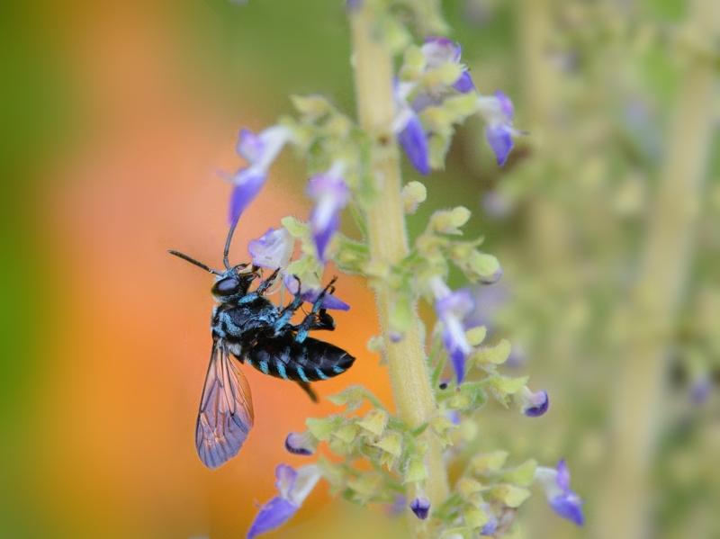 地元公園の青い蜂たち(ルリモンハナバチ)_a0204089_22275259.jpg