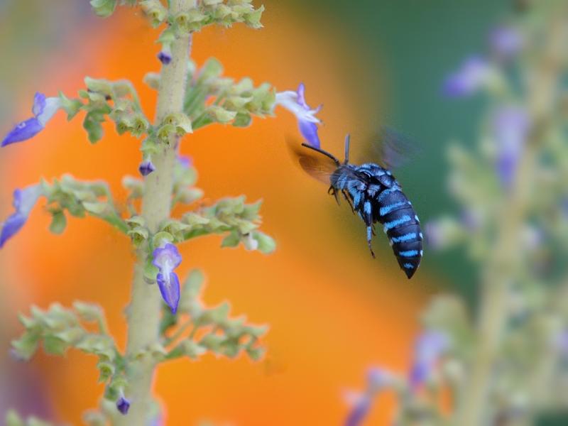 地元公園の青い蜂たち(ルリモンハナバチ)_a0204089_22275936.jpg