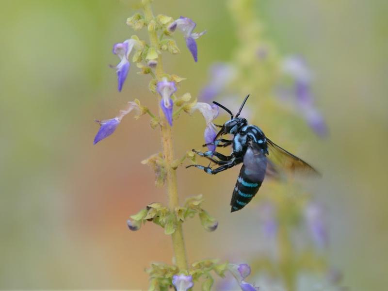 地元公園の青い蜂たち(ルリモンハナバチ)_a0204089_2228755.jpg