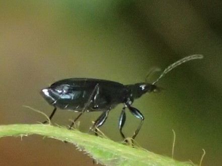 コルリアトキリゴミムシ Lebia viridis ?_c0208989_19483859.jpg