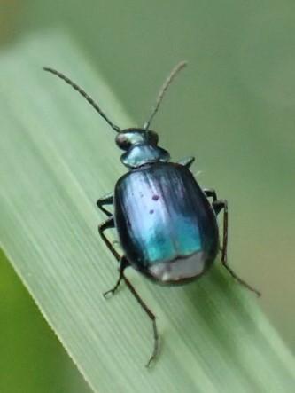 コルリアトキリゴミムシ Lebia viridis ?_c0208989_19490480.jpg
