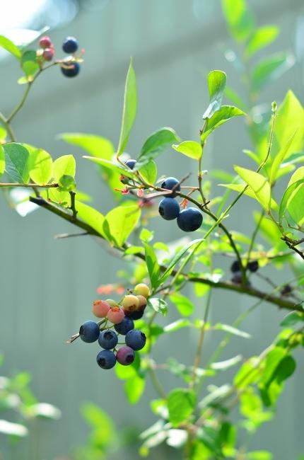 夏の庭 その3  ブルーベリー_d0025294_16101561.jpg