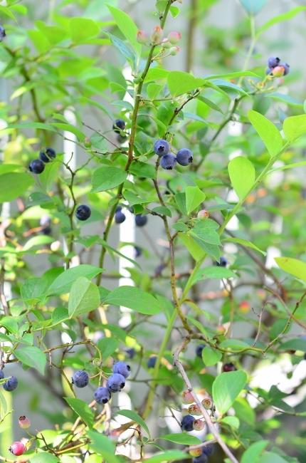 夏の庭 その3  ブルーベリー_d0025294_16103192.jpg