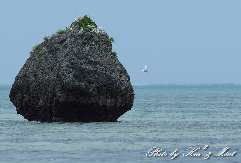 南の島3日目「ダイサギ」さん&「エリグロアジサシ」さん♪byミント_e0218518_20305705.jpg