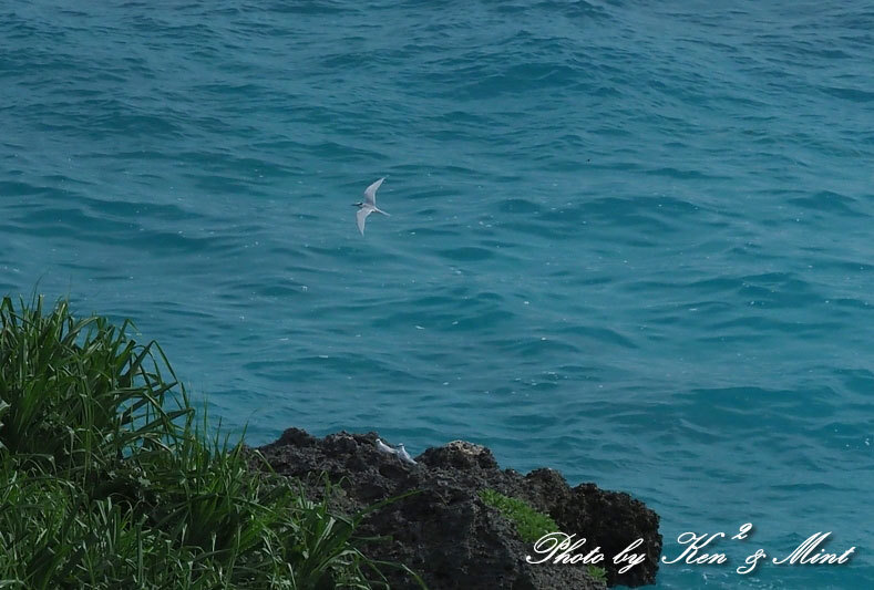 南の島3日目「ダイサギ」さん&「エリグロアジサシ」さん♪byミント_e0218518_21155522.jpg