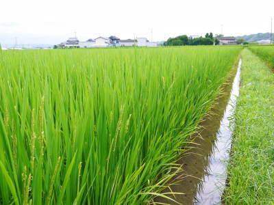 七城米 長尾農園 お米の花が咲きました 平成30年度の『七城米 長尾さんのこだわりのお米』残りわずか!_a0254656_17515649.jpg