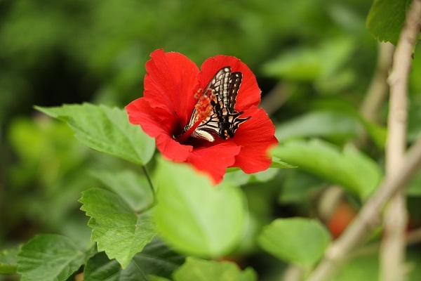 花に蝶* 温室はハイビスカスでいっぱいでした_b0328557_21534671.jpg