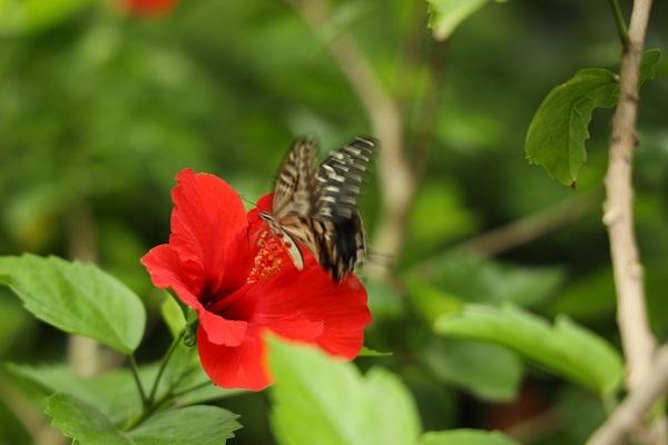 花に蝶* 温室はハイビスカスでいっぱいでした_b0328557_21540164.jpg