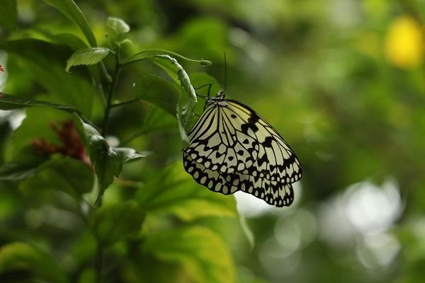 花に蝶* 温室はハイビスカスでいっぱいでした_b0328557_21541474.jpg