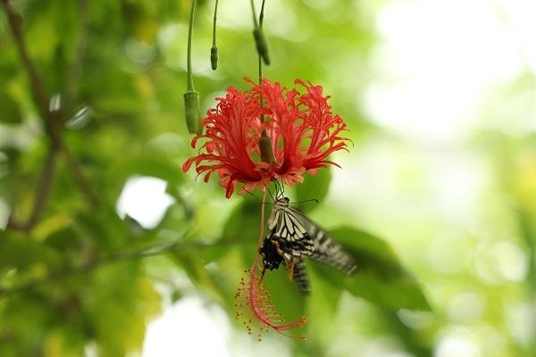 花に蝶* 温室はハイビスカスでいっぱいでした_b0328557_21563424.jpg