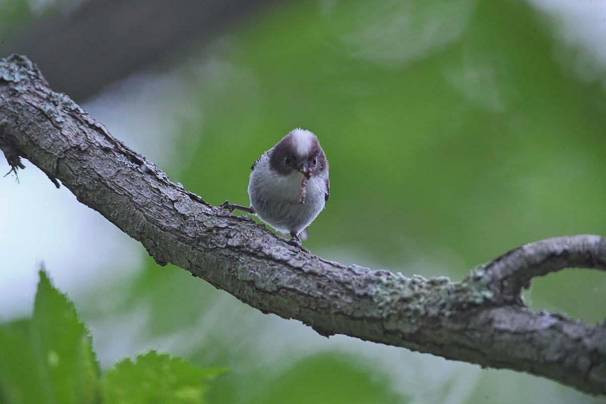 シマエナガノの幼鳥達_d0125872_22403214.jpg