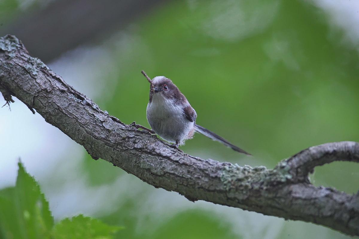 シマエナガノの幼鳥達_d0125872_22403671.jpg