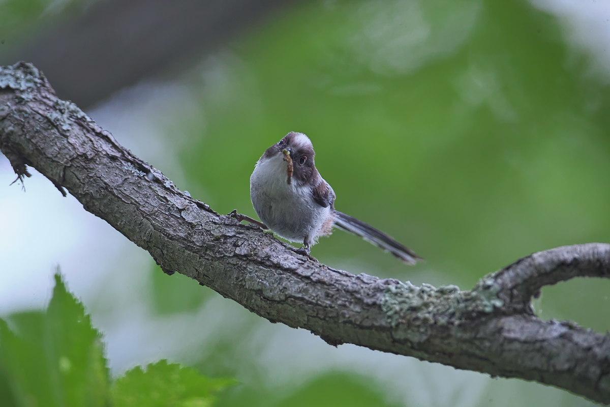 シマエナガノの幼鳥達_d0125872_22404695.jpg