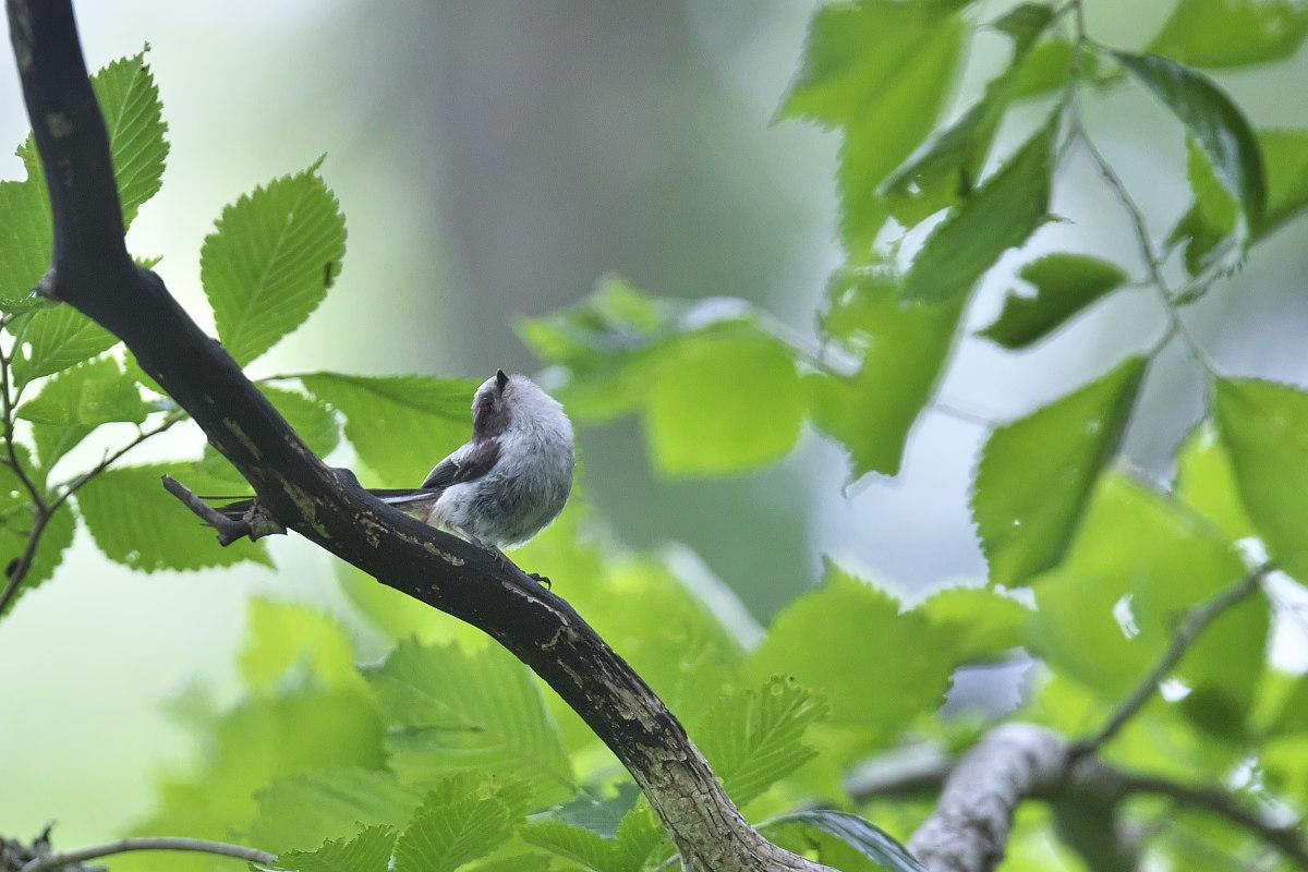 シマエナガノの幼鳥達_d0125872_22413505.jpg