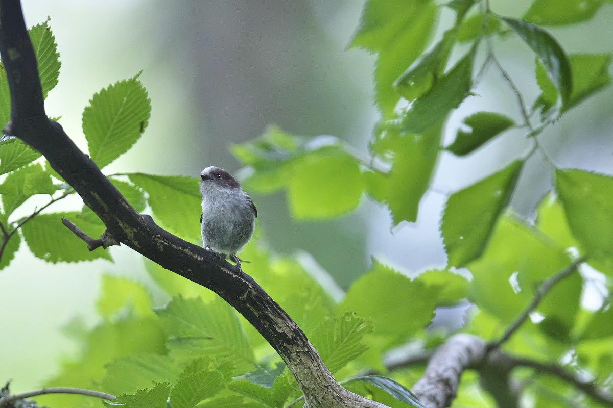 シマエナガノの幼鳥達_d0125872_22414093.jpg