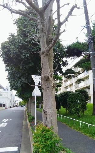 倒木の危険_a0162505_16293087.jpg