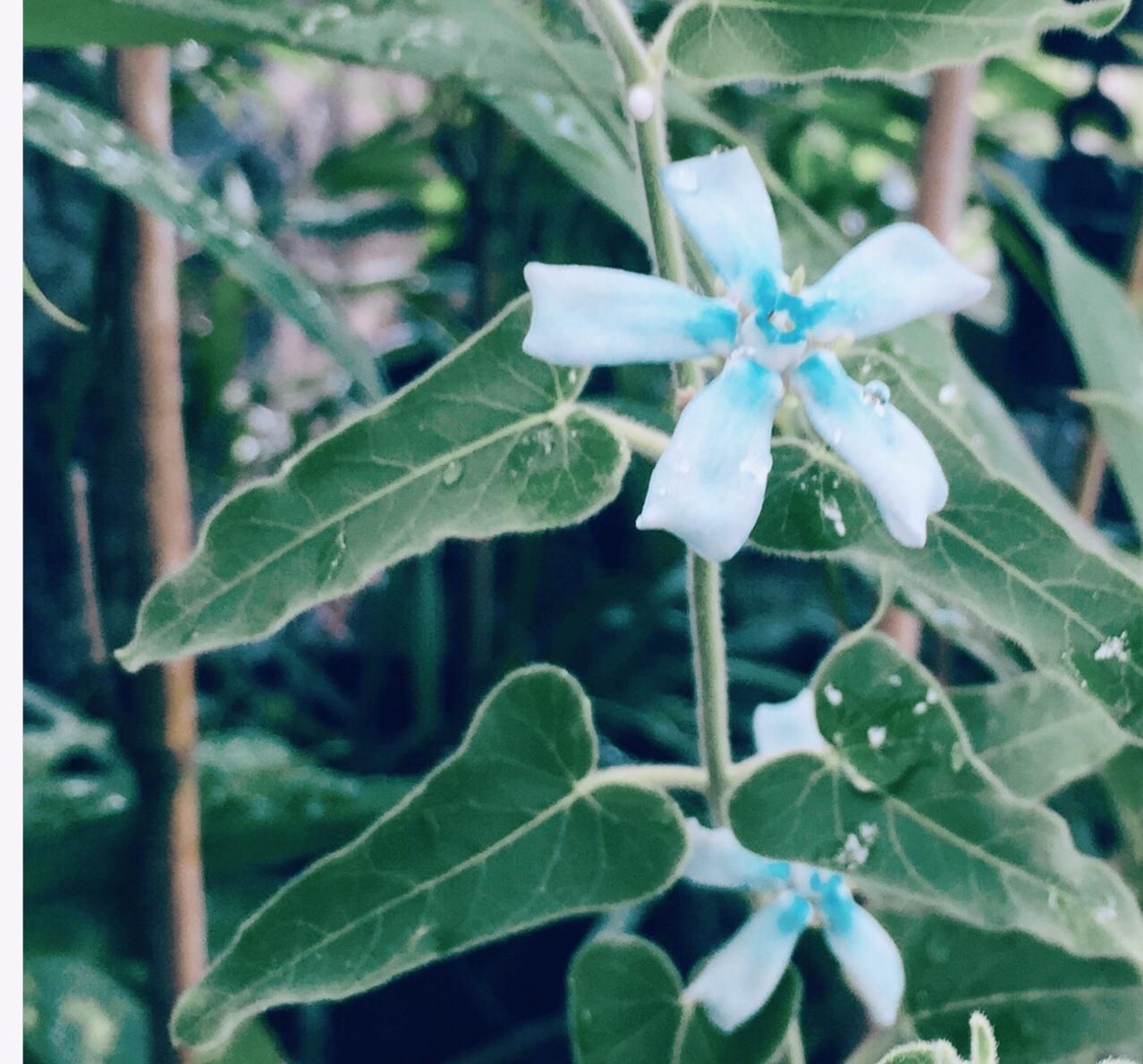 花の名は青い星_e0241944_17204826.jpeg