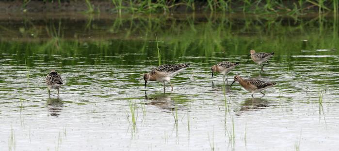 休耕田で渡りの立ち寄りの鳥たち(エリマキシギと・コアオアシシギ)_f0239515_17373592.jpg