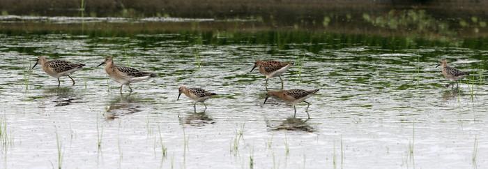 休耕田で渡りの立ち寄りの鳥たち(エリマキシギと・コアオアシシギ)_f0239515_1737767.jpg