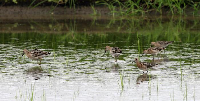 休耕田で渡りの立ち寄りの鳥たち(エリマキシギと・コアオアシシギ)_f0239515_1738916.jpg
