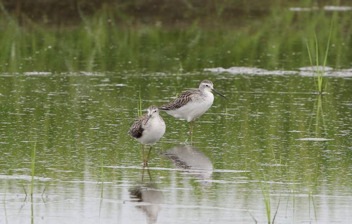 休耕田で渡りの立ち寄りの鳥たち(エリマキシギと・コアオアシシギ)_f0239515_17404249.jpg