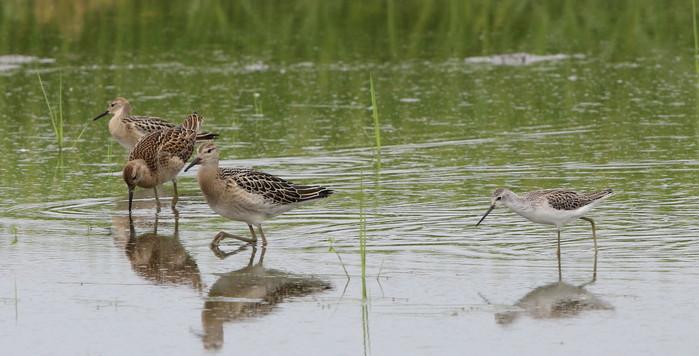 休耕田で渡りの立ち寄りの鳥たち(エリマキシギと・コアオアシシギ)_f0239515_17423982.jpg