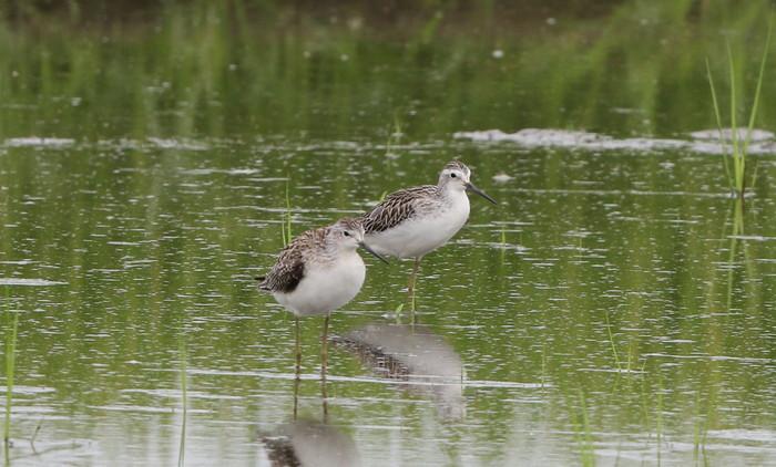 休耕田で渡りの立ち寄りの鳥たち(エリマキシギと・コアオアシシギ)_f0239515_1742664.jpg