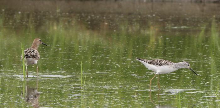 休耕田で渡りの立ち寄りの鳥たち(エリマキシギと・コアオアシシギ)_f0239515_17453335.jpg