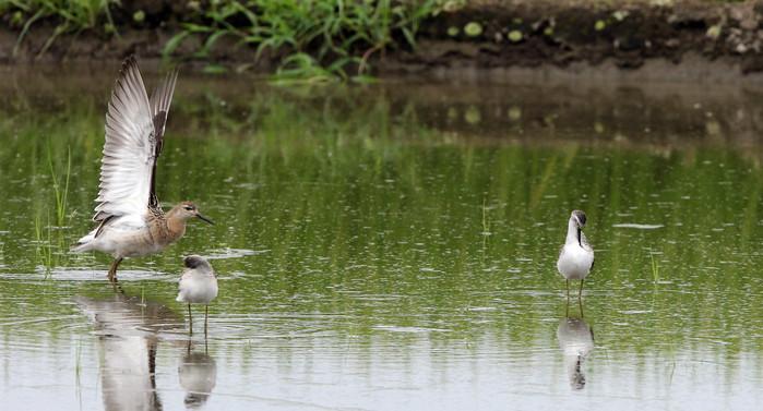 休耕田で渡りの立ち寄りの鳥たち(エリマキシギと・コアオアシシギ)_f0239515_17465785.jpg