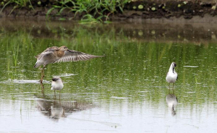 休耕田で渡りの立ち寄りの鳥たち(エリマキシギと・コアオアシシギ)_f0239515_17475244.jpg